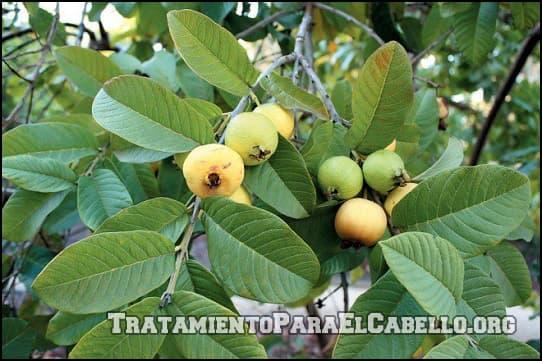 Tónico de hojas de guayaba para el pelo